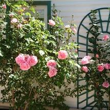 Les beaux rosiers
