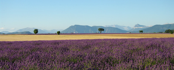 Lavender  fields around Riez-la-Romaine